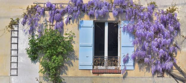 Глициния цветет весной на фоне старого сельского дома с голубыми ставнями у окна