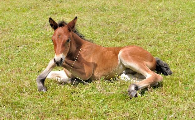 子馬は草の上に横たわる