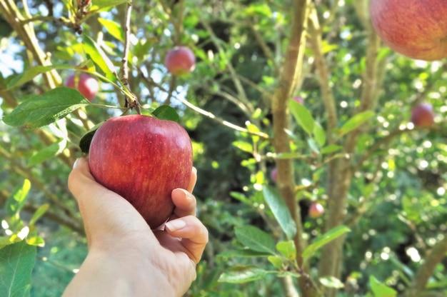赤いリンゴの女性の手で木を選ぶ