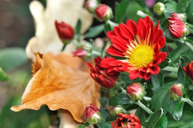 Красная хризантема осенью