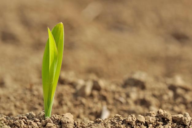 トウモロコシの若い芽