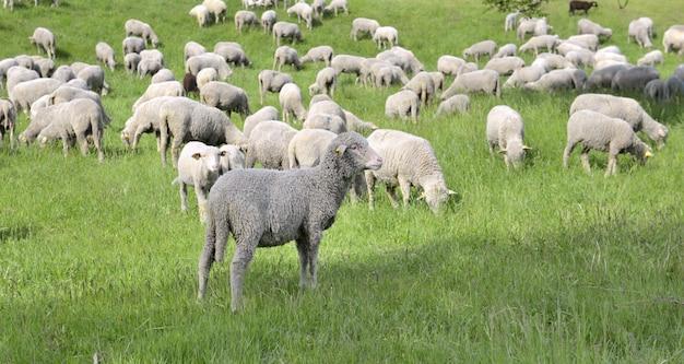 春に放牧家畜の羊