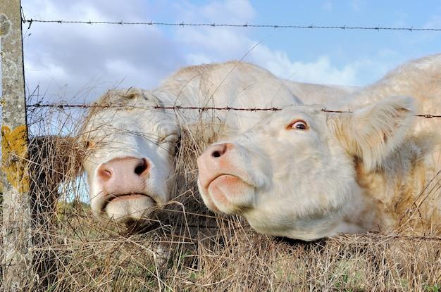 Веселые портреты коров