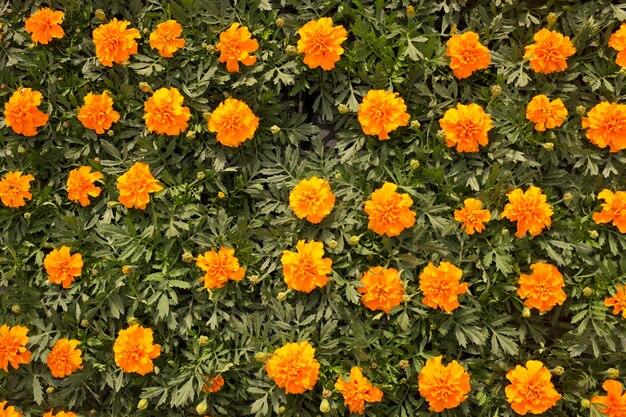ダイアンサスバルバトゥスオレンジの花壇