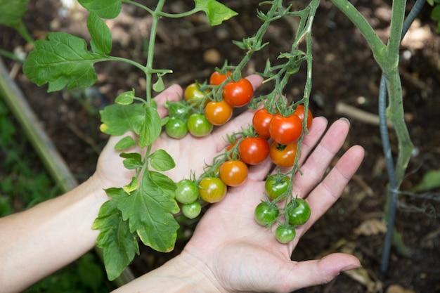 Рост помидоров черри в теплице