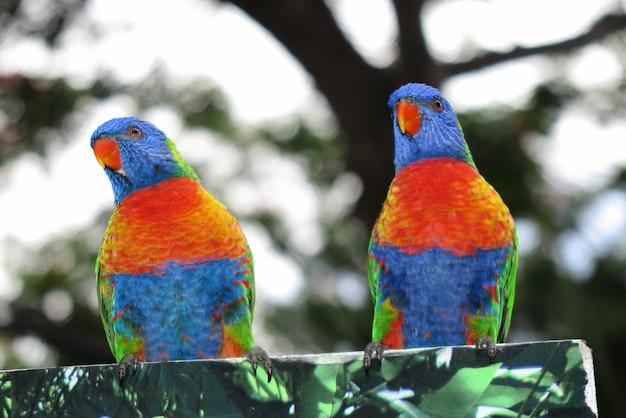 一対の虹ロリキート、美しいオウムのカップル