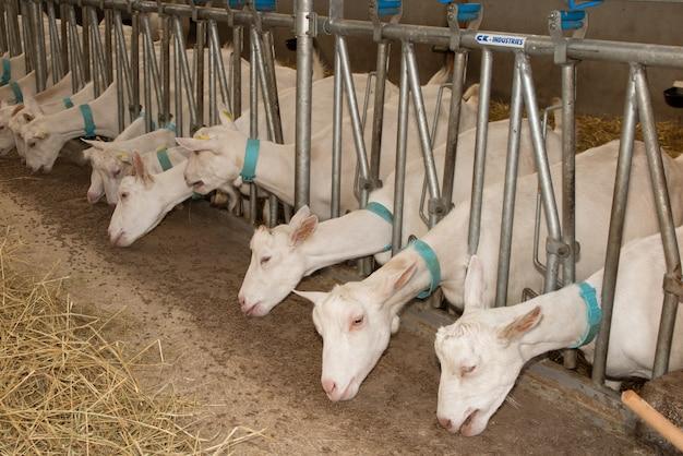Домашние козы на ферме ждут еду