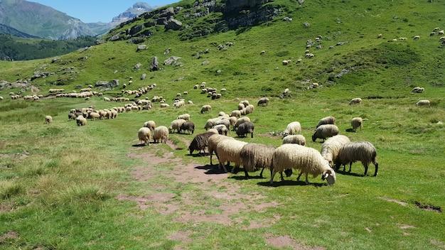 草を食べる山の野生の羊