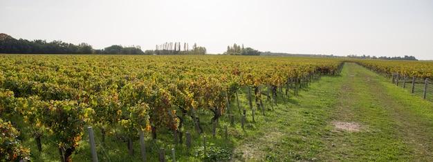 秋の収穫のブドウ園と自然の背景。秋に熟したブドウ。ワインのコンセプト