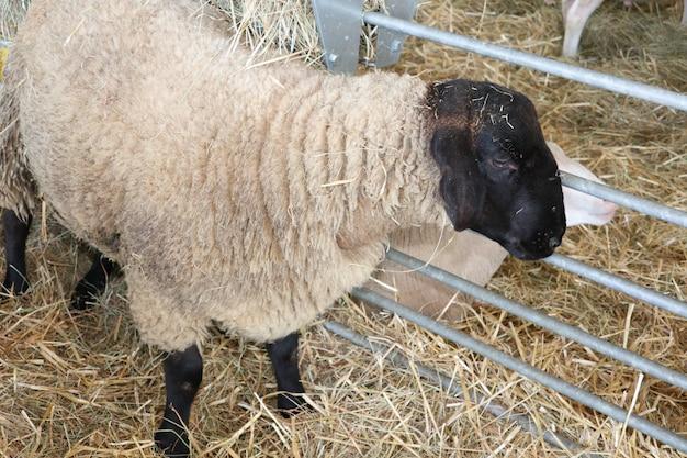 農場の納屋で黒い頭の羊