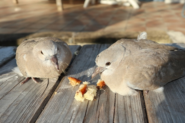 ベンチの木製の庭にカメ鳩カップル