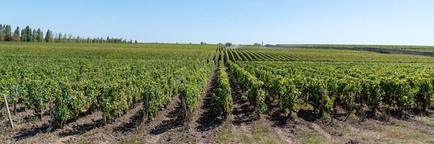Виноградный пейзаж в шато марго в бордо, франция