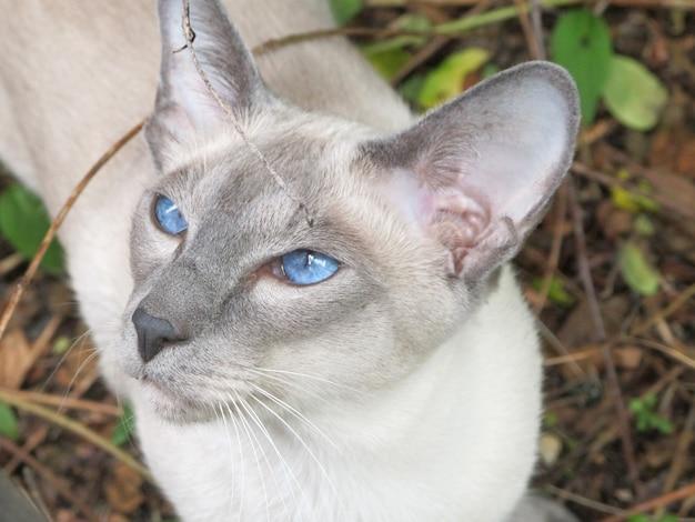 屋外の庭に青い目を持つ肖像画猫