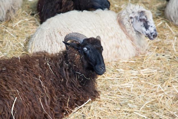 白い羊の群れの中の黒い羊の頭