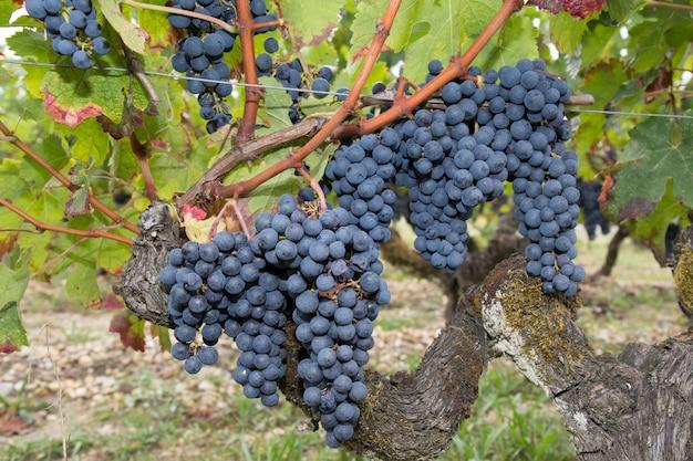 暖かい午後の光の中で古いブドウの木から赤ワイン用ブドウの大きな房が垂れ下がる