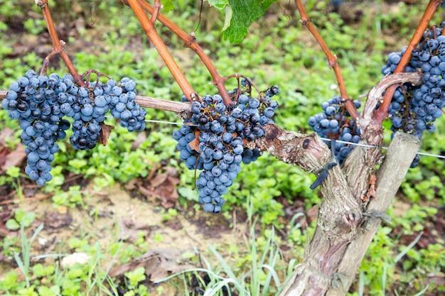 Ряд урожая спелых винных винограда в винограднике в регионе святого милиона бордо