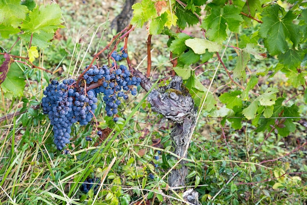 Красные черные виноградные лозы во время сбора урожая