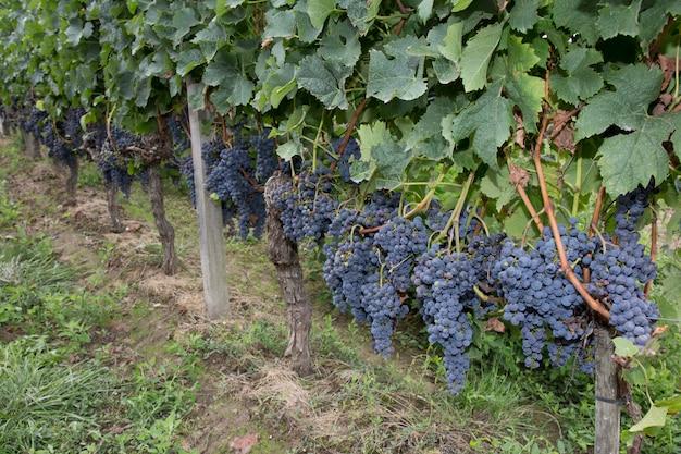Много синего винограда на лозах, бордо, франция