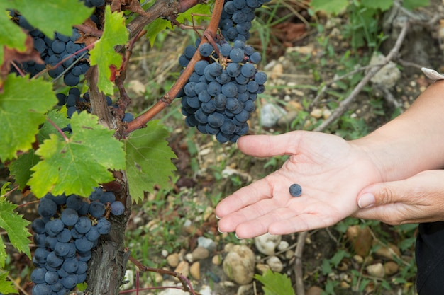 日差しの中で収穫時にワイン生産者の女性ピッキンググレープシード