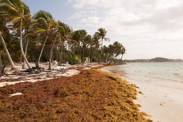 カリブ海のビーチでのサルガッソ海藻、クリーニング。