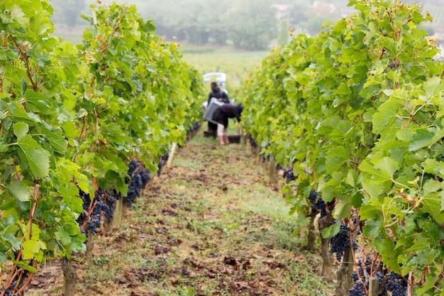Виноделы собирают виноград с красного винограда на винограднике сент-эмильон, бордосское вино франция