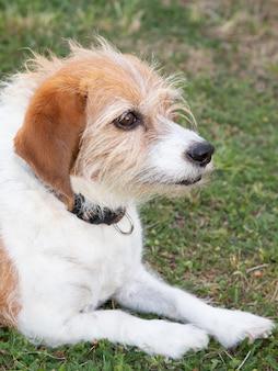 夏の日に草の上に横たわる愛犬オーストラリアンシェパード