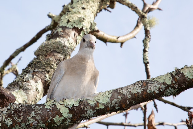 枝の木にとまる鳩に似た襟鳩
