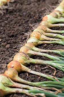 Урожай лука на земле.