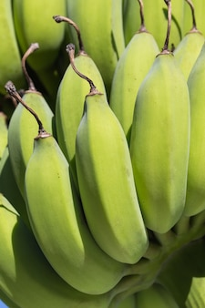 若いバナナの束のクローズアップ