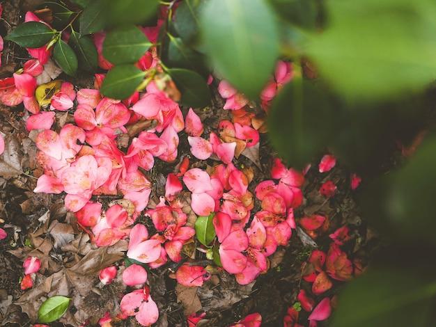 ピンクの椿の花びらと春の公園の葉でいっぱいの背景