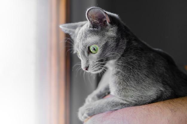 深い大きな緑色の目で灰色の猫の肖像画を閉じます。休んでいるコラート猫。動物と愛らしい猫のコンセプト。マクロの選択的な焦点。ペットシェルター