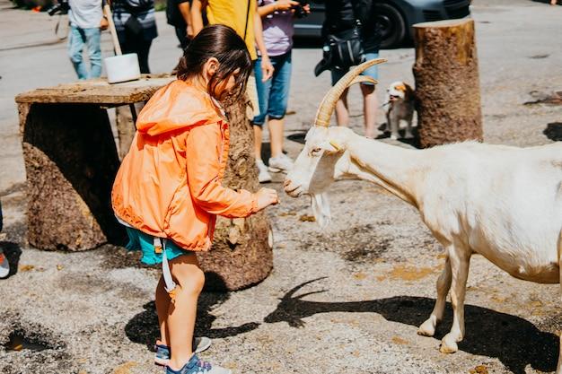 小さな女の子が餌をやり、山ヤギと遊ぶ