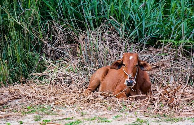 牧草地の赤牛