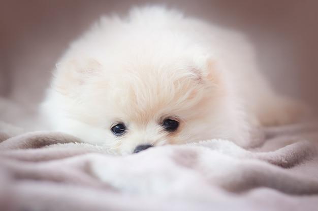 ポメラニアン犬と子犬を見て、床に横たわっている間見つめて