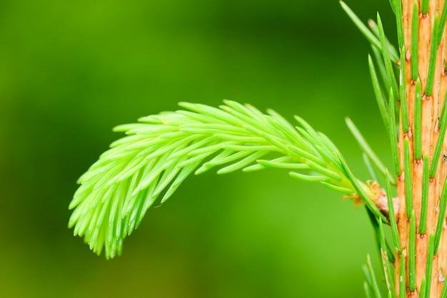 針葉樹の春芽