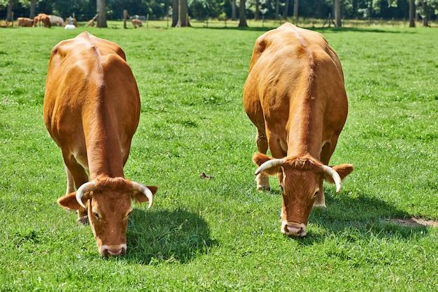典型的なベルギーの設定でベルギーの牛