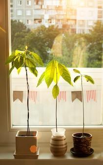 窓辺にアボカドの若い木。