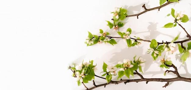 Яблони цветут ветки плоской планировки. белые цветущие бутоны, вид сверху