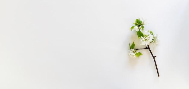 Цветущая ветка яблони на белом фоне