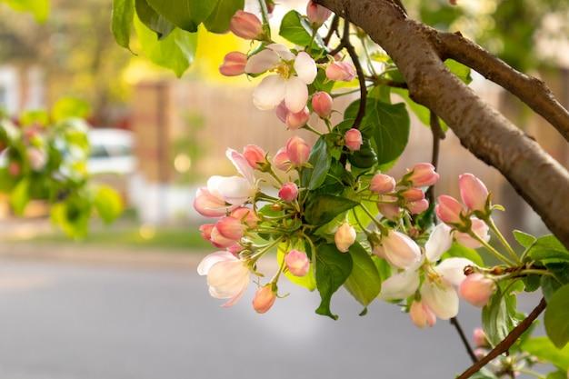 晴れた春の日緑咲く庭。美しいピンクの白いリンゴの木の花の枝。春の花青い背景