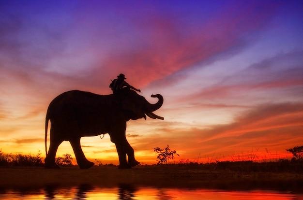 象使いと田んぼに象の立っています。