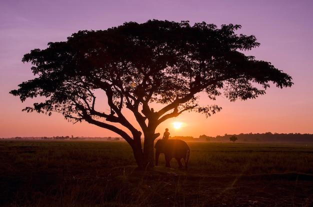 Большой силуэт дерева с рисовым полем на закате.