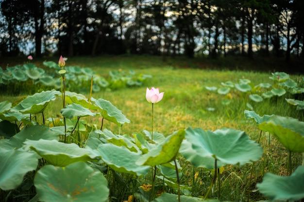 ソフトフォーカスの蓮の花