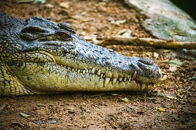 危険な動物のワニの頭と歯の焦点