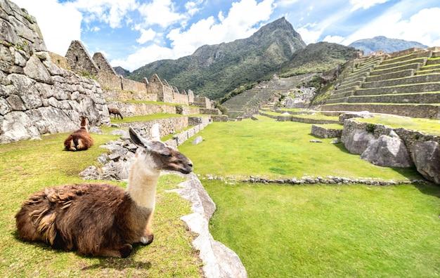 ペルーのマチュピチュ遺跡遺跡の緑の牧草地で休んでいる茶色と白のラマ僧