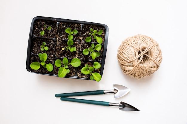 Выращивание овощей. весенний сезон. ростки петунии в пластиковом горшке.