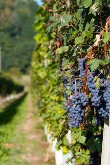 Виноградник - грейпфрут