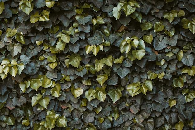 緑のツタの生垣。ヘデラヘリックスアイビー。緑の花の背景。壁に緑の植物。葉のテクスチャ