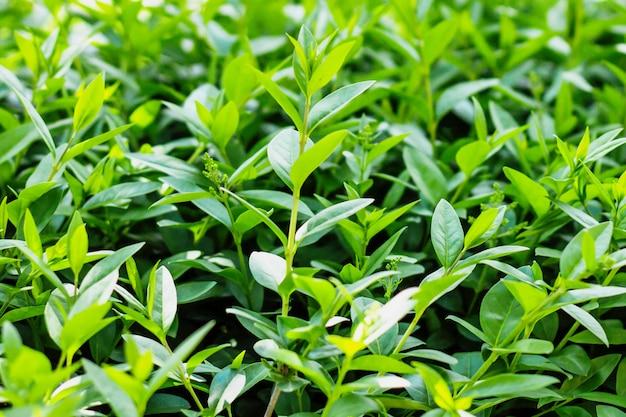 Фоновая текстура зеленых листьев, кустарников, природы. зеленая предпосылка лист с космосом экземпляра для текста.