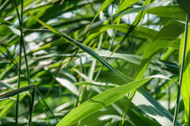 緑のリード杖草